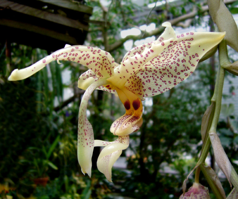 Stanhopea coulata Flowers